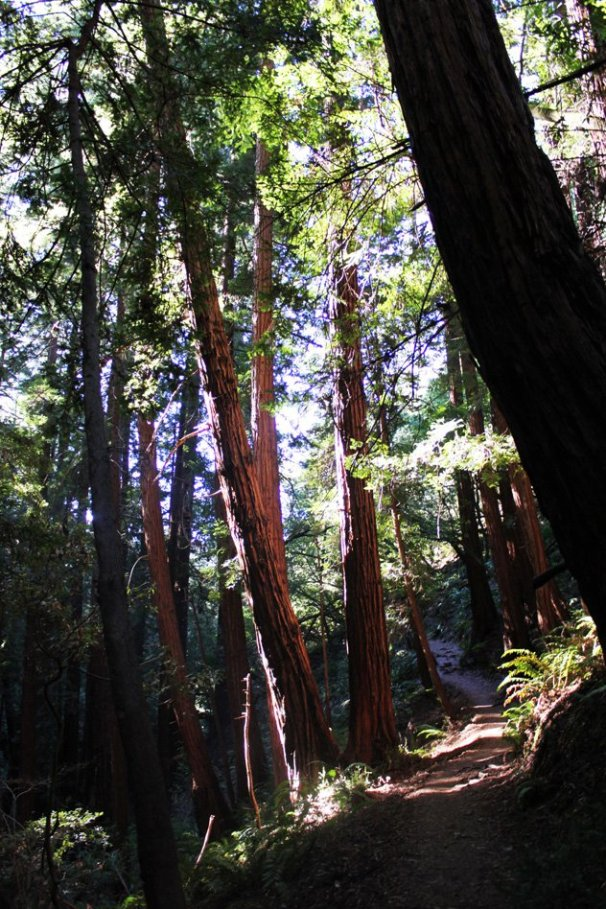 Opening to the ocean view trail at Muir Woods One